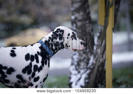 Dalmatian Dog Breed In The Blue Collar