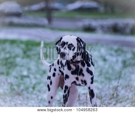 Portrait Of Dalmatian Dog