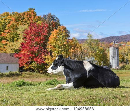 Holstein Friesian breed of cow in a field during the New England fall