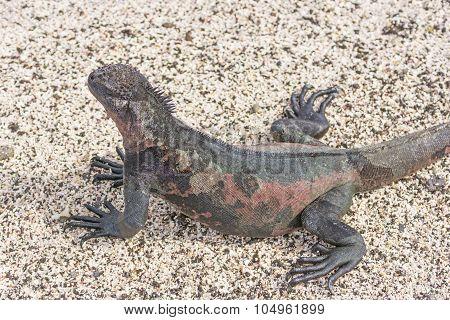 Colorful Marine Iguana On The Beach