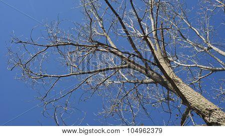 Leafless Winter Elm Tree. Blue Sky.