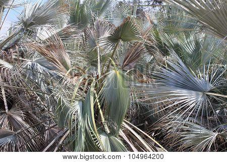 Blue Fan Palm