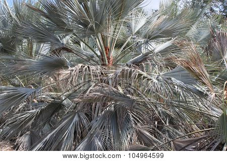 Blue Fan Palm