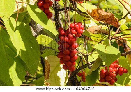 Brush fruit Schizandra .