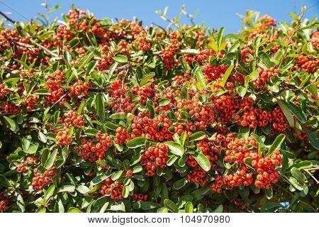 Mastic Berries
