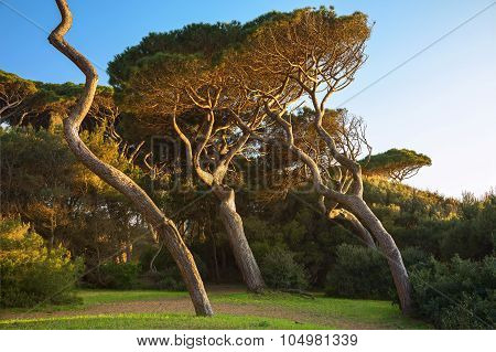 Maritime Pine Tree Group. Baratti, Tuscany.