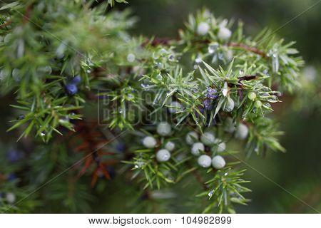 Water drops on juniper berries