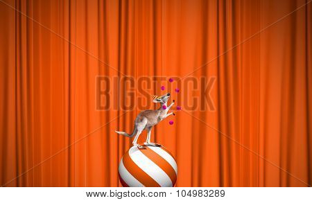 Circus kangaroo standing on ball and juggling with balls