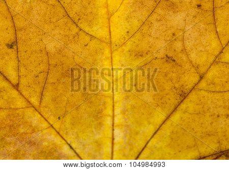 Fallen Golden Yellow Maple Leaf Texture Pattern, Autumn Fall Gru