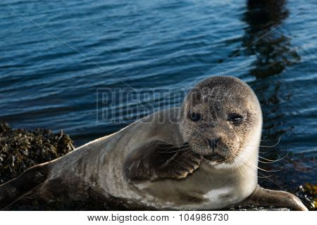 Cute Gray Seal Taking A Sunbath On Rock
