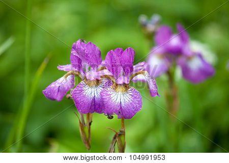 Two Violet Iris Flowers