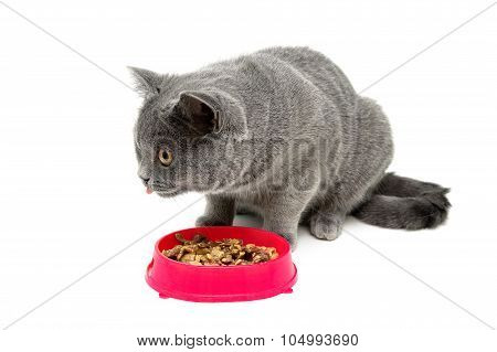 Gray Kitten Eating Food From A Bowl On A White Background