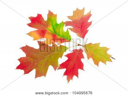 Branch Of Autumn Red Oak On A Light Background