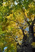 Maple Tree Crone In Autumn Colors