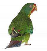 Постер, плакат: Ласточковый попугай Lathamus обесцветить 2 лет старого стоя перед белый фон