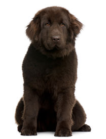 stock photo of newfoundland puppy  - Brown Newfoundland puppy 10 months old sitting in front of white background - JPG