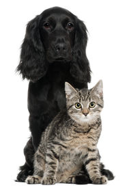 stock photo of cat dog  - Cocker Spaniel and European Cat 5 and 4 years old sitting in front of white background - JPG