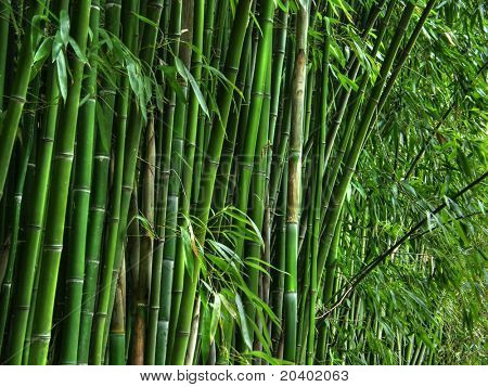 Green bamboo grove.