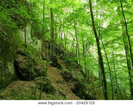 Beechen wood in mountains.