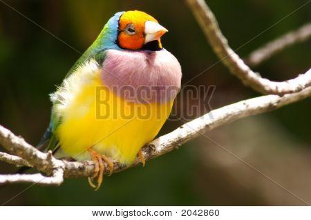 Orange Headed Gouldian Finch