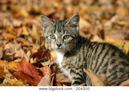 Kitten In Fall Leaves