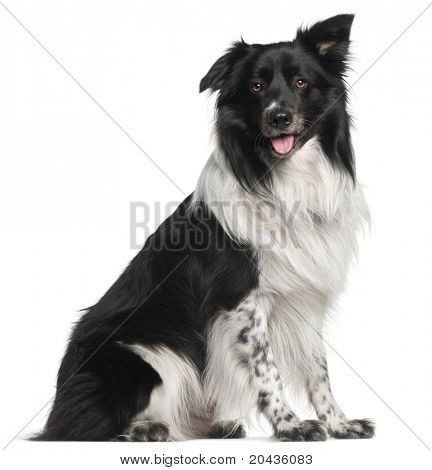 Border Collie, 3 and a half years old, sitting in front of white background