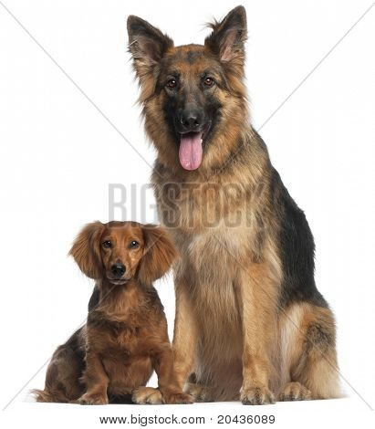Dachshund, 8 years old, and German Shepherd Dog, 2 and a half years old, sitting in front of white background