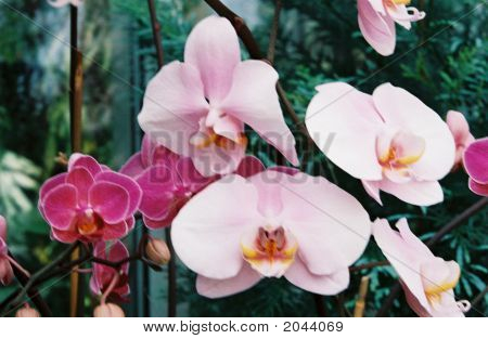 Purple Pink White Orchids