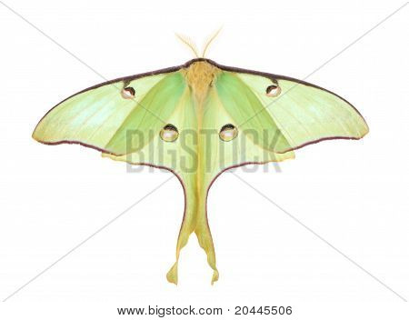 Luna Moth, Actias Luna, Isolated