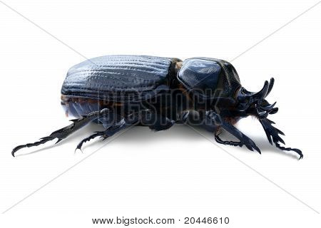 Triceratops Beetle Over White