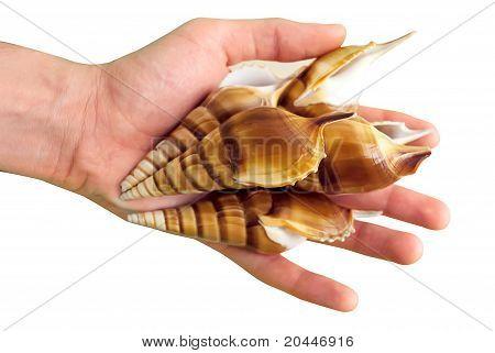Seashells In Hand