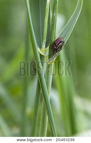 Plain Reed Beetle