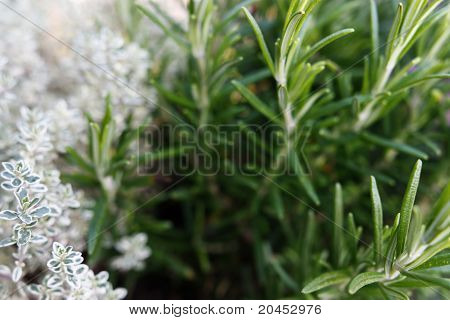 Thymus Vulgaris and Rosemary
