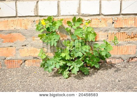 The green plant growing on the asphalt against brick wall