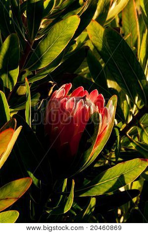 protea in the morning light