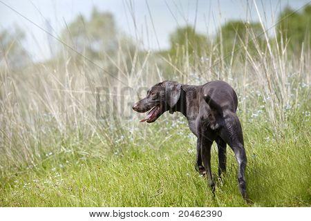 Kurzhaar In The Hunting Field