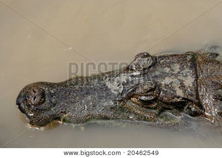 Caiman Crocodile, Peru, South America