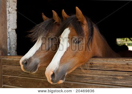 2 ponys look out of a stable