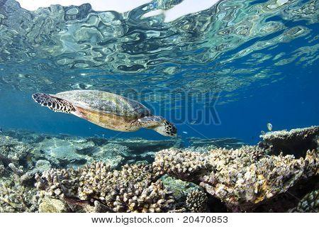 Hawksbill Turtle Eretmochelys Imbricata