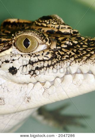 Young Crocodile Right Head shot