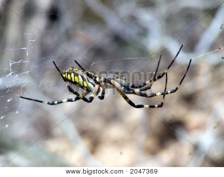 Garden Spider Side View