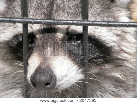 Racoon Thru Fence