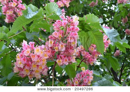 Pink Flowers Chestnut