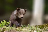 Young Brown Bear Cub In The Fores poster