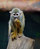 foto of baby spider  - photo of a tiny common spider monkey found in the tropics of central and south america - JPG