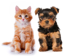 pic of cat dog  - Little cute puppy of yorksire terrier and red mixed - JPG