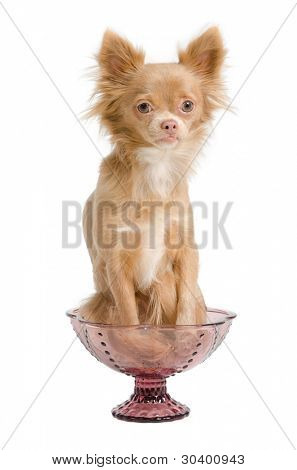 Tiny chihuahua puppy sitting in a pink glass bowl