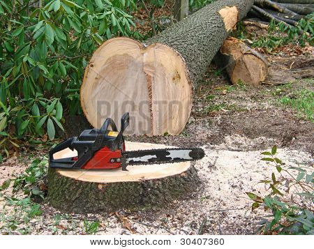 Small chainsaw cuts large tree