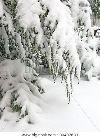 Snow-covered hemlock branch