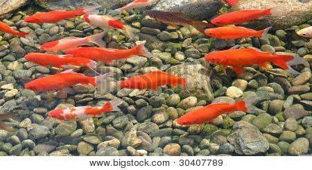 Group of orange-colored koi